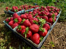 It is strawberry season at The Drying Shed
