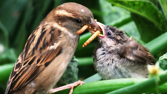 A house sparrow feeds beetle larvae to a fledgling in Shrewsbury, United Kingdom. Birds eat up to 550 million tons of bugs each year.