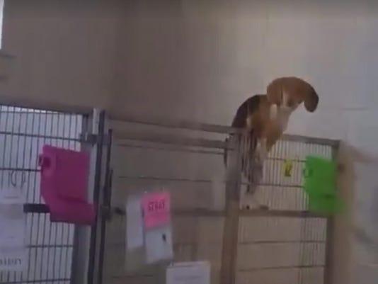 beagle_escape