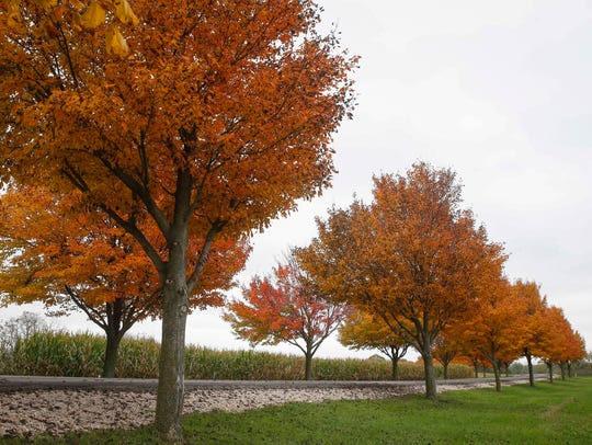 Young trees change colors along a driveway in rural