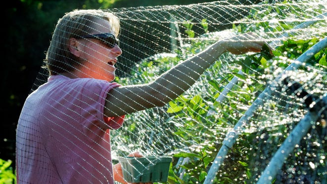Penn State Cooperative Extension master gardener Christy Freytag of Springettsbury Township ducks inside a bird netting as she harvests blueberries at the Gardens at John Rudy County Park in this file photo Thursday, July 16, 2015.  Bill Kalina photo
