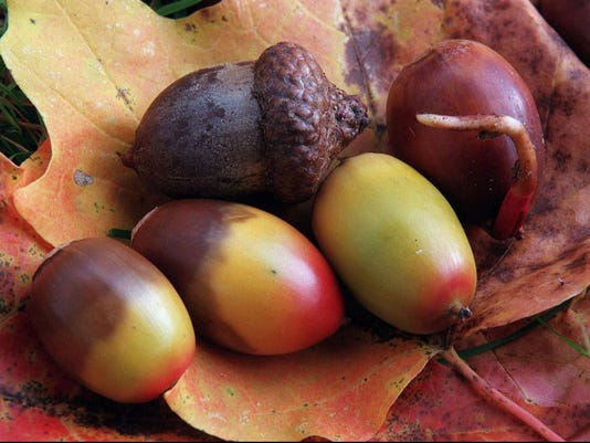 what s up with all the acorns this year