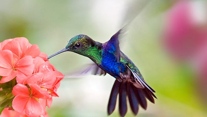 Hummingbirds use August and early September to prepare to make a flight to their winter homes in Mexico and Central America.