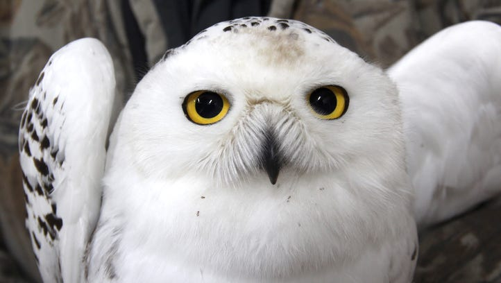 Winter birding in Wisconsin delivers sightings of snowy owls, eagles and more
