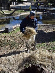 Jordan Rehlander, a zoo keeper at the Alexandria Zoo, puts hay out at one of the zoo's animal habitats Saturday.