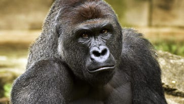 Column: Zoo, not the gorilla, is the problem