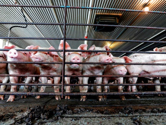 Young hogs stand by a gate at a confined feeding operation. Gannett News Service