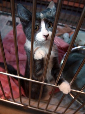 A kitten watches visitors pass by at the Bay Area Humane Society in Green Bay.