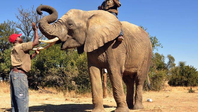 An elephant called Chishuru is rewarded on the target mat for having completely a successful scent trial in Bela-Bela, north of Pretoria, South Africa, on June 13, 2013.