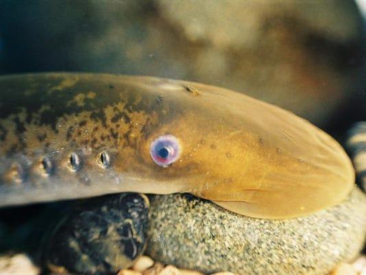 sea lamprey 1