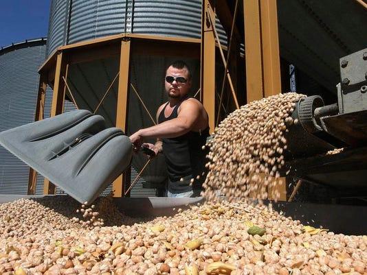 Food and Farm-Chickpea Boom (2)