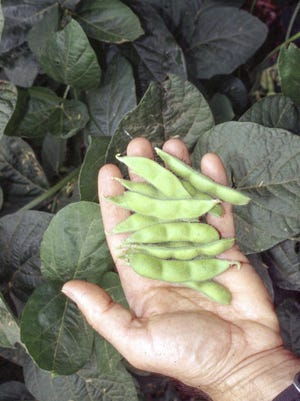 Freshly picked, green, young soybeans, known as edamame, are easy to grow, and they combine the flavors and textures of fresh lima beans and peas.