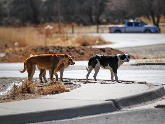 A pack of dogs walk along U.S. Highway 64 on Monday in Shiprock.