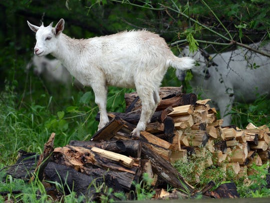 A young goat surveys the area from atop a wood pile at Heritage HIll State Historical Park in the park Wednesday, July 2, 2014. Jim Matthews/Gannett Wisconsin Media