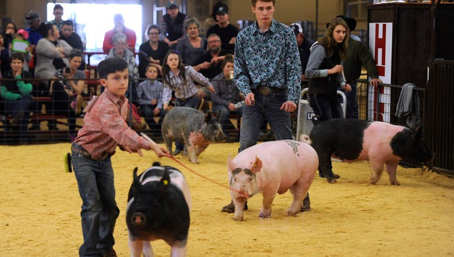 Contestants parade their pigs around the ring during the swine competition at the 2017 Taylor County Livestock Show at the Taylor County Expo Center. This year's show begins Wednesday.