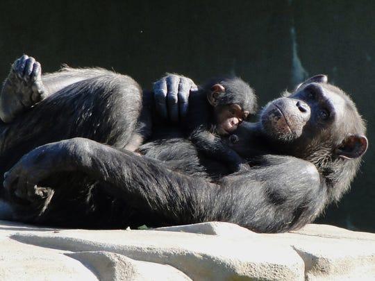 In this 2011 photo, chimpanzee Akati holds her new baby, Akira, at the Detroit Zoo.
