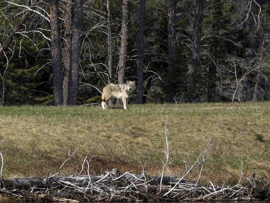 [Image: 636626270331995654-animals-wolves-behavi...ses-up.jpg]