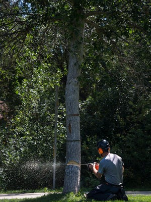 City of Boulder field operation supervisor Ken Fisher cuts down an ash tree that has been infested with emerald ash borers, Friday, August 18, 2017, at Martin Park in Boulder, Colo.