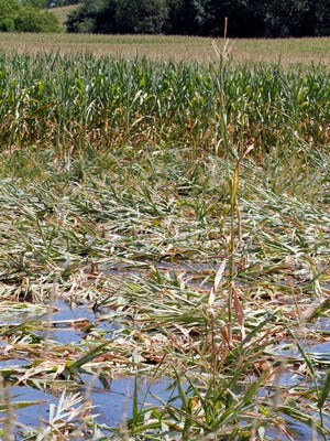 Delayed planting and heavy rainfall throughout the season have caused concerns about harvesting an immature corn silage crop.