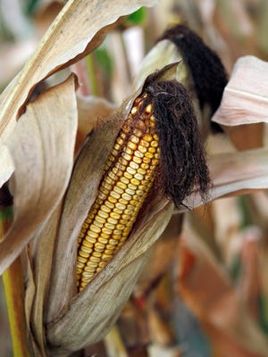 It's generally recommend that harvesting corn for dry grain storage should begin at about 24-25 percent kernel moisture.