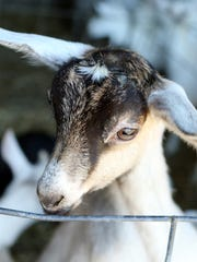 Goats can be weaned off milk or milk replacer once they reach 30 pounds and are eating at least one-quarter pound of solid feed per day along with free-choice forage