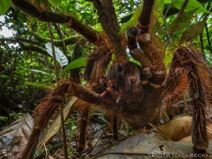 South american goliath birdeater - photo#2