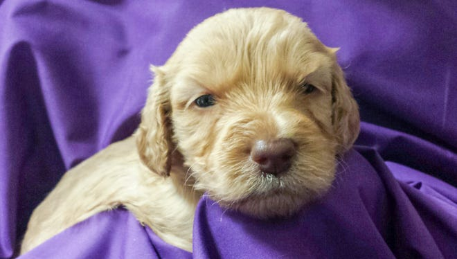 One of the Labradoodle puppies from Meadow Park that will be trained as a therapy dog. Muncie Central High School is raising money to buy a dog from the litter to help students cope with stress.