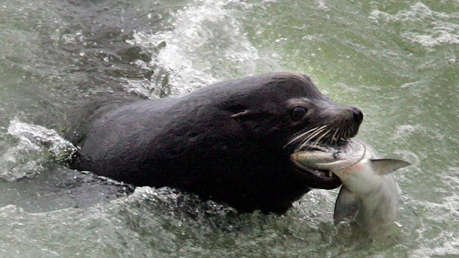 A sea lion catches a salmon on the Columbia River just below the spillway at Bonneville Dam, Washington, in 2007. Two sea lions were killed last week in the area when a trap malfunctioned.