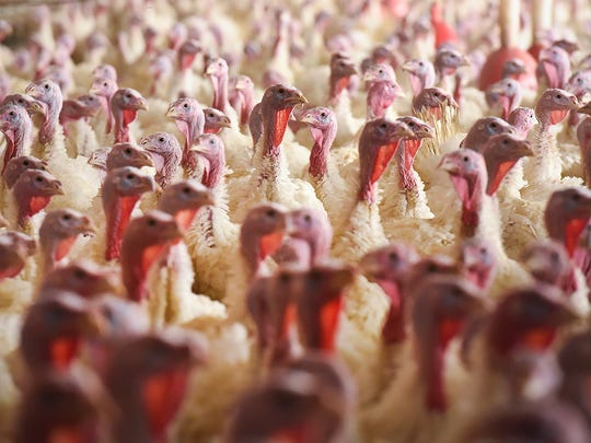 Thousands of turkeys fill a barn shown here Wednesday, Nov. 15, 2017, in Melrose.