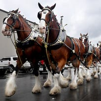 Budweiser Clydesdales stop at Central Distributors
