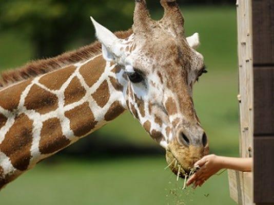 635969149162094133-Giraffe.jpg