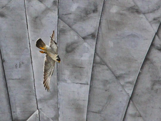 A peregrine falcon flies near the nest of young falcons at the Times Square Building in 2010 in downtown Rochester.
