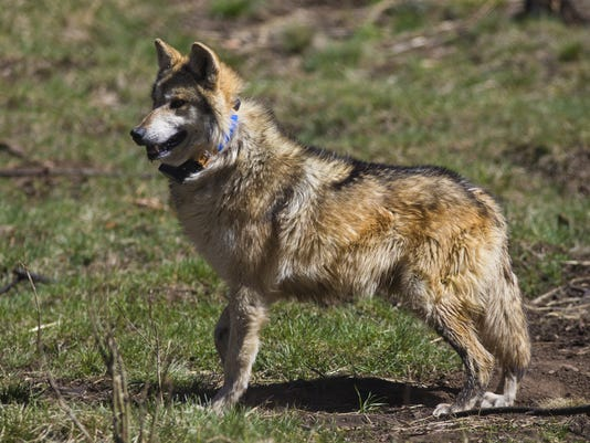 Mexican gray wolf