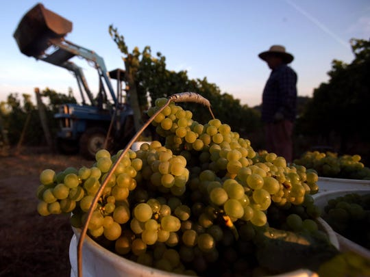 Eola Hills Wine Cellars began harvesting Chardonnay grapes from their Wolf Hill Vineyard for use in Sparkling wine on Wednesday, Aug. 26, 2015, west of Salem, Ore.