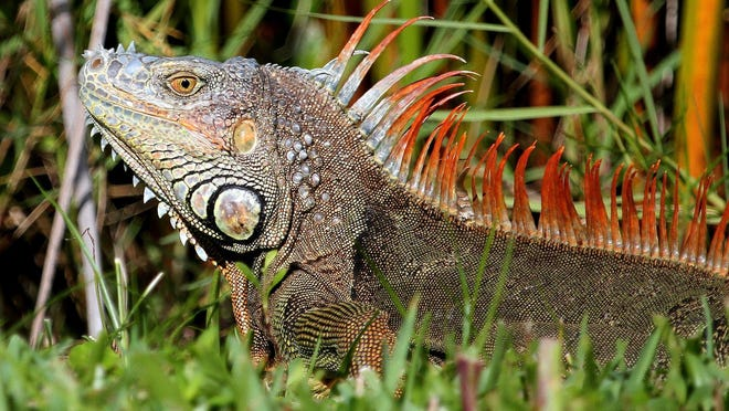 A male green iguana looks formidable. In addition to using its long tail for protection, the iguana will defend itself by biting and scratching.