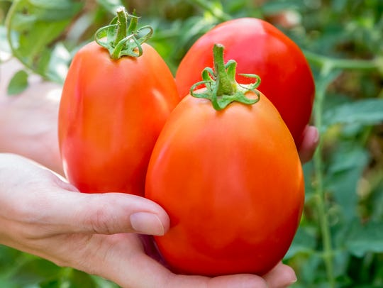 Gladiator tomato is a large, Roma type, perfect for