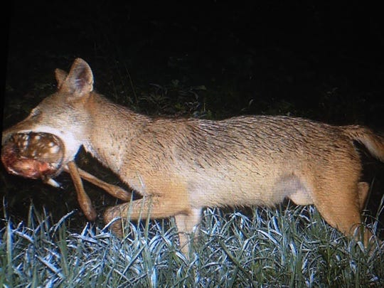 Predation on fawns can increase during periods of high