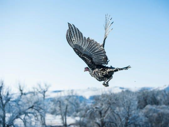 A wild turkey release organized by the Montana Fish,