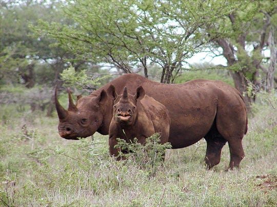 Black rhinos, such as this male and calf in Mkuze, South Africa, are protected under the U.S. Endangered Species Act. The law prohibits the import of trophies of endangered species.