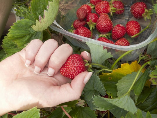 Fresh strawberries are one fruit available to pick