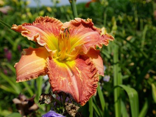 A daylily blooms in Helen Haney's garden in July.