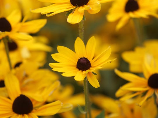 Black-eyed Susan flowers are seen during the Summer Celebration Lawn and Garden Show at the West Tennessee AgResearch and Education Center on Thursday, July 14, 2016.