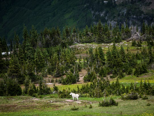 A mountain goat stands a safe distance away from visitors