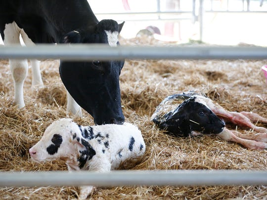 Twin calves were born at the Ag Birthing Center.