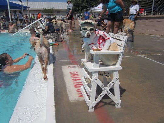 Ben Avalos' Chihuahua named Shayla is planning on competing