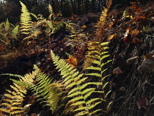 Autumn ferns grow on November 6, 2016 in Michaux State