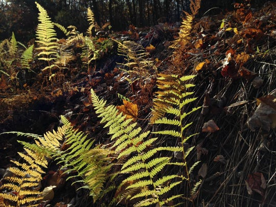 Autumn ferns grow on November 6, 2016 in Michaux State Forest.