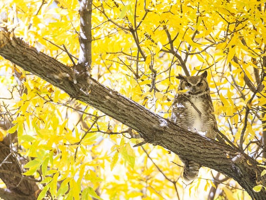 A great horned owl roosts in a tree at Giant Springs State Park