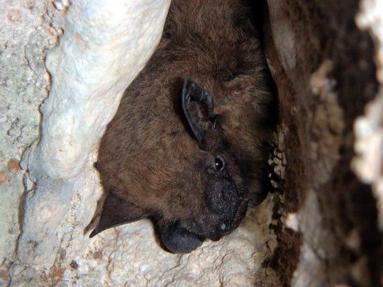 Surveyors found a big brown bat hibernating in Sequiota