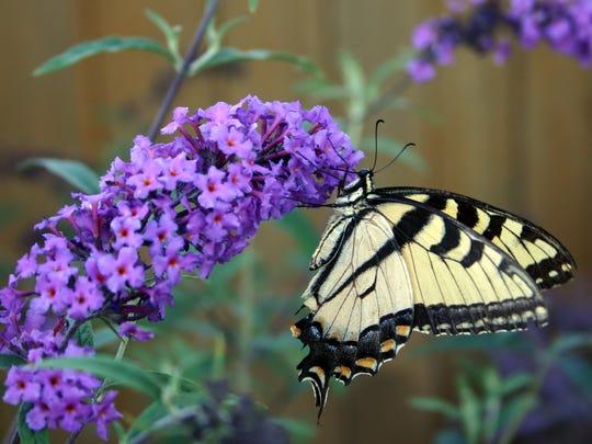 Beautiful butterfly on a butterfly bush